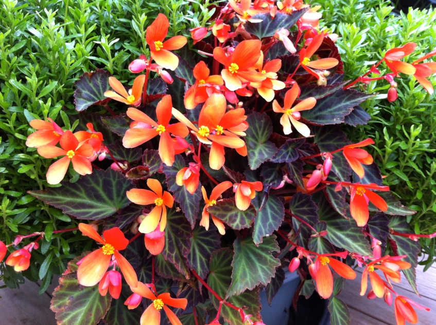 Begonia 'Glowing Embers', The Watch House, September 2014