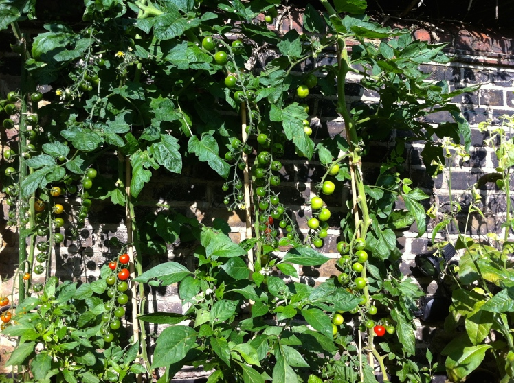 With their lower leaves removed, tomatoes will ripen fast in the autumn sunshine