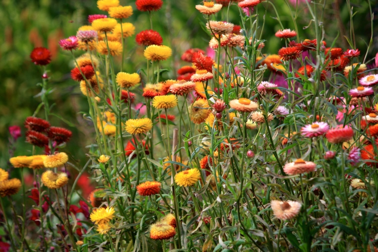 Flowers of my youth: we were never without helichrysums when I was growing up