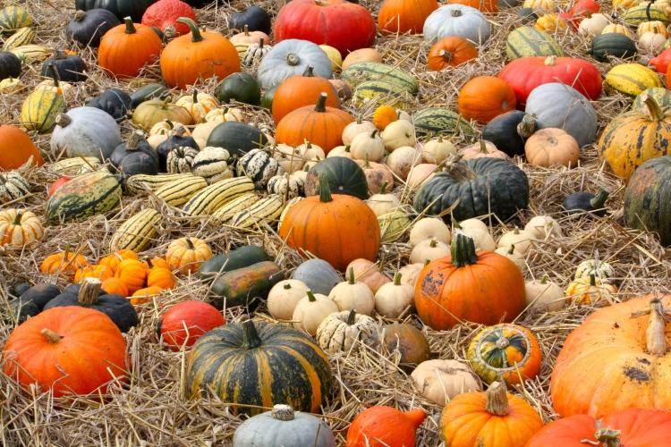 Pumpkins and Squashes, Trengwainton Gardens, Cornwall, September 2014