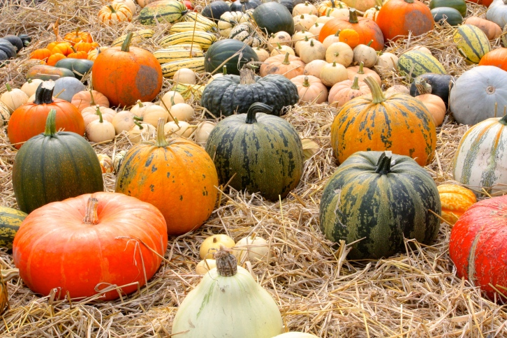 A sea of freshly harvested  pumpkins greeted us on a September visit