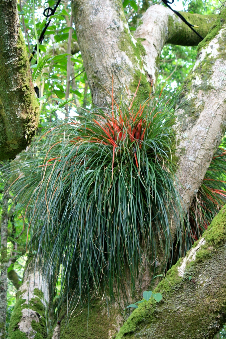 In very few places in the UK could you expect to find Fascicularia bicolor, a Chilean bromeliad, growing in the boughs of a magnolia