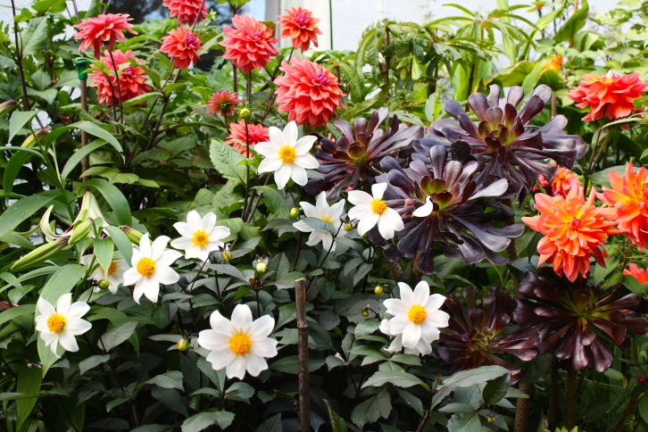 Still going strong, Dahlia 'Twyning's After Eight', D. 'American Dawn' and Aeonium 'Zwartkop'