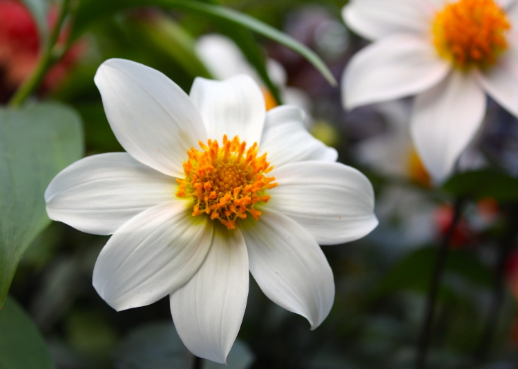 Dahlia 'Twyning's After Eight' combines fine bronzy foliage with sparkling white flowers, occasionally tinged pink