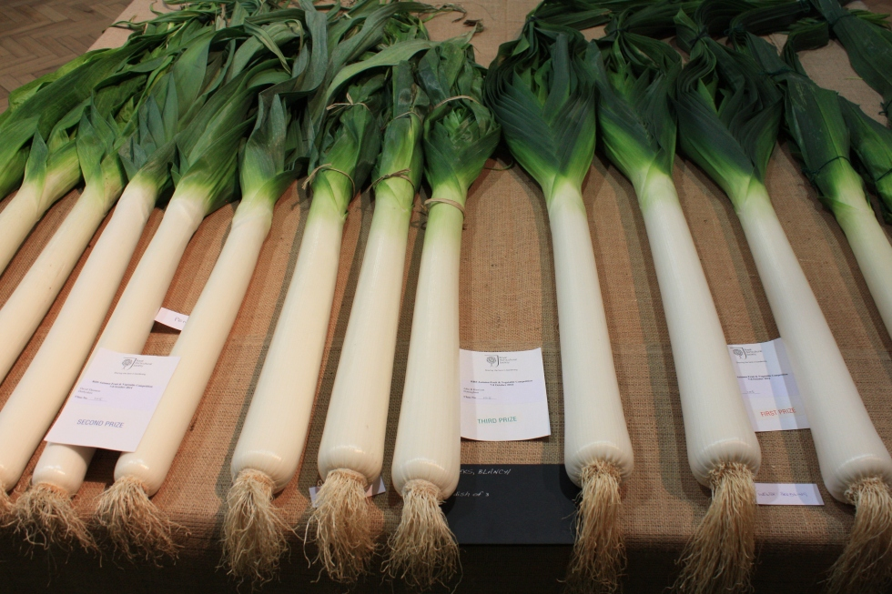 Prize winning leeks, RHS London Harvest Festival Show 2014