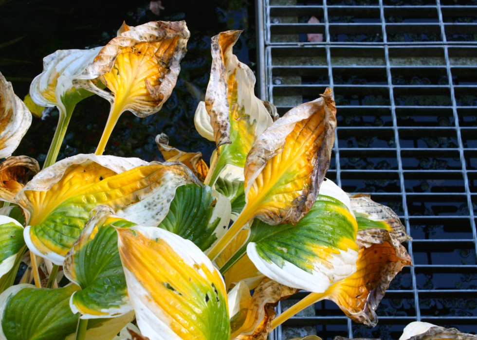 Fading fast, the leaves of Hosta 'Patriot'
