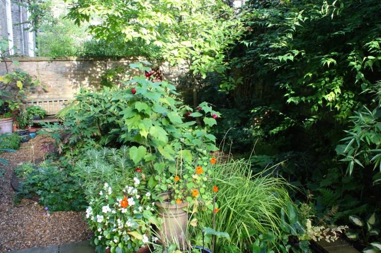Begonias, nasturtiums and Abutilon 'Nabob' are still going strong despite the cooler nights