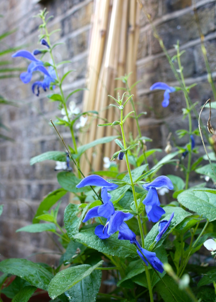Salvia patens, with the canes that supported the sweetpeas it replaced in the background