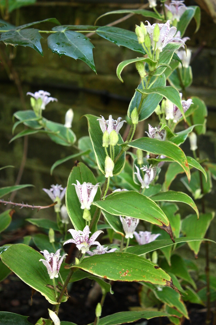Toad in the hole. Tricyrtis hirta 'Variegata' is tolerant of any level of shade
