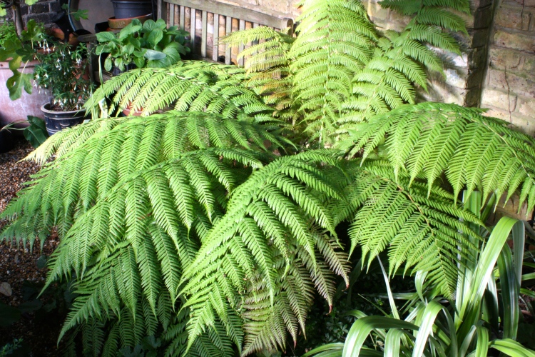Bought as a tiny plant from Homebase, 'David' the tree fern now produces fronds 4ft long