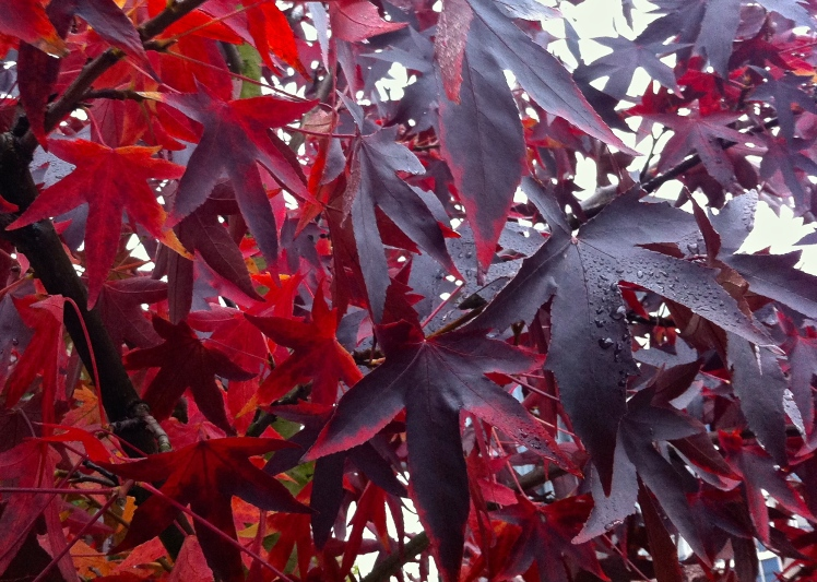 Sweet gums are a match for maples and acers when it comes to intense colour