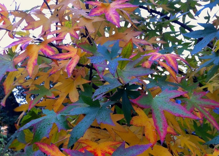 Fiery colours as sweet gum (Liquidambar styraciflua) begins to turn