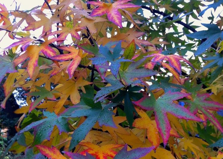 Fiery colours as sweet gum (Liquidambar styraciflua) begins to turn