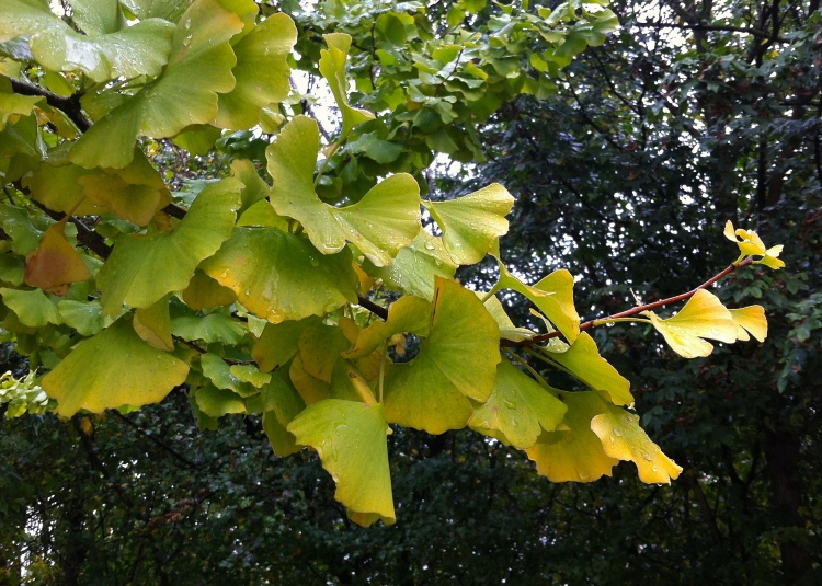 Gingko biloba is considered tolerant of both drought and pollution, the makings of a great urban tree