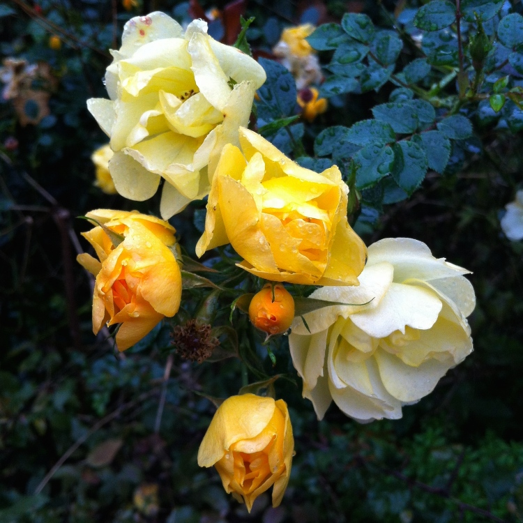 It's not over yet for these miniature floribunda roses