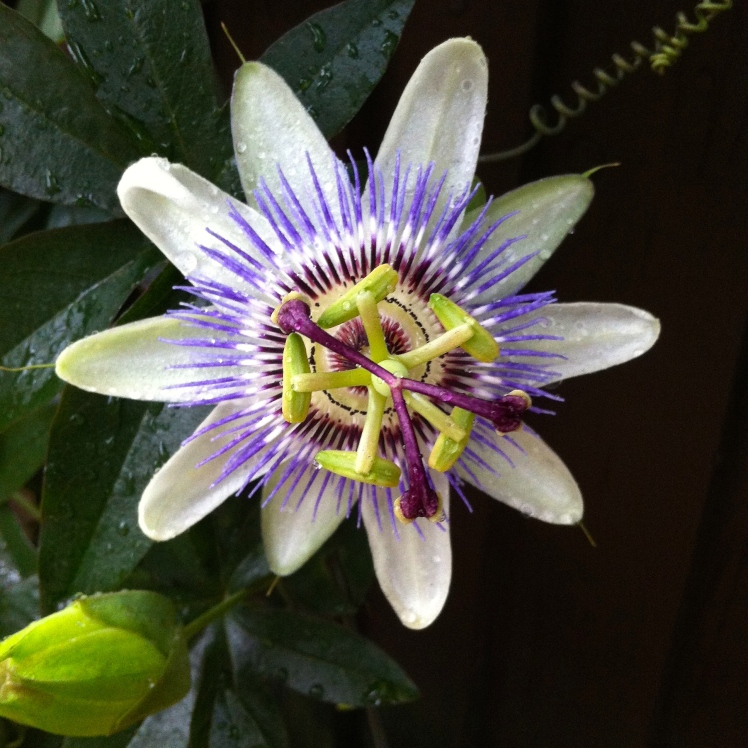 Is there any tropical flower quite as alluring as the passion flower?