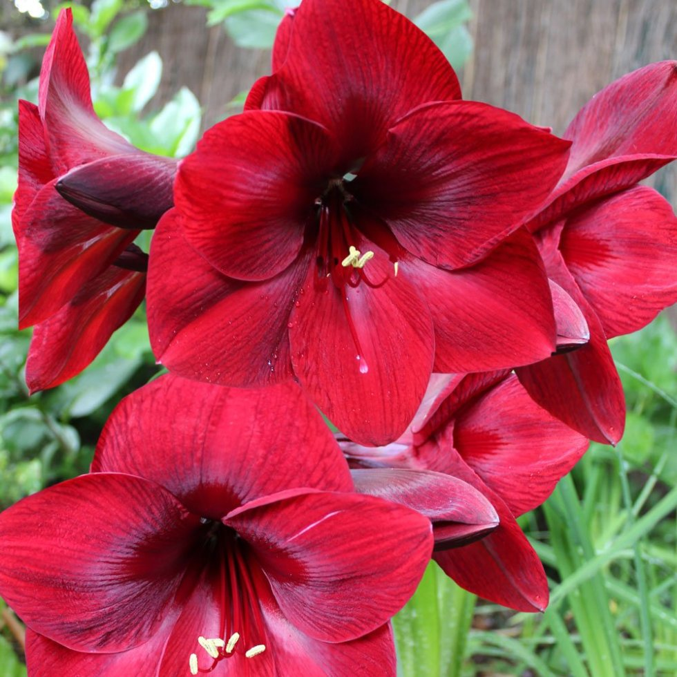 A good Amaryllis bulb will produce between two and four sturdy flower heads
