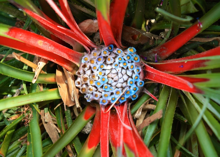 The flowers of Fasicularia bicolor are even more fascinating close-up