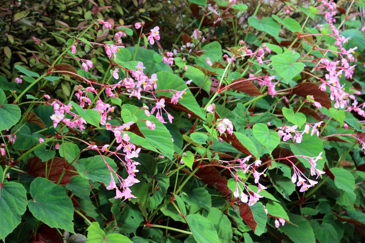 Begonia grandis subsp. evansiana is unusual in that it's hardy in most UK gardens