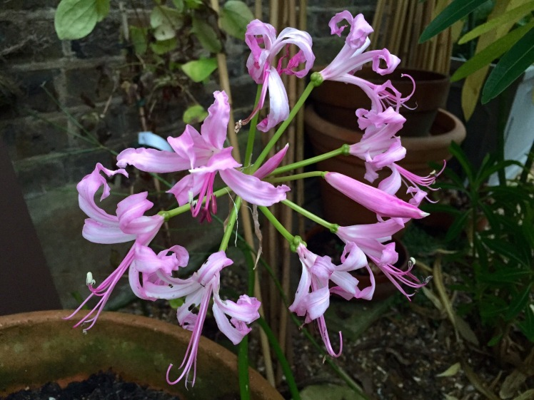 Nerines are named after the sea nymphs of Greek mythology