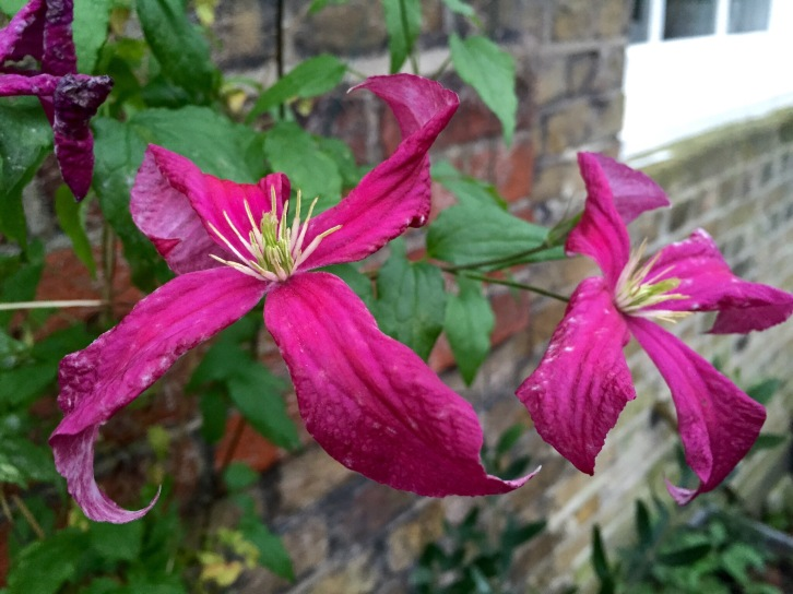 A lady with staying power - Clematis 'Madame Julia Correvon'