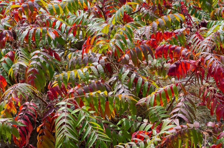 On the turn. The leaves of  Rhus typhina need full sun to achieve their  most dazzling colours