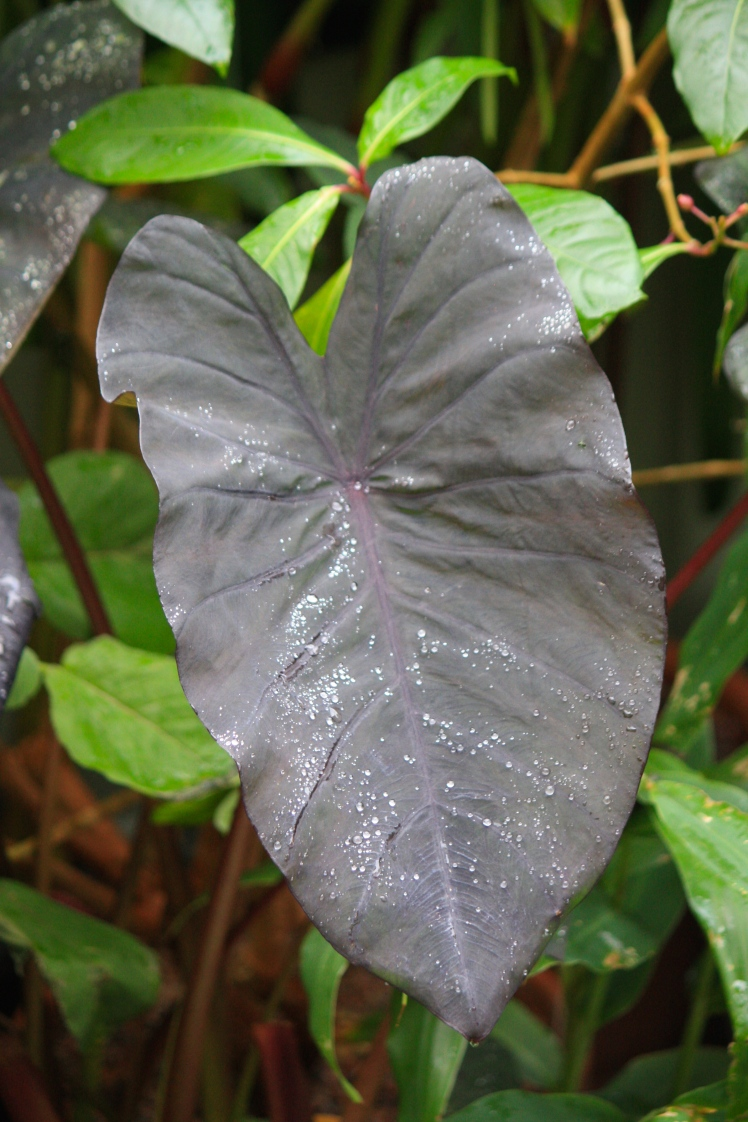 The brooding leaves of Colocasia esculenta 'Black Magic' will crumple and die as soon as cold weather arrives