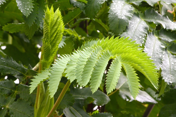 The saw-tooth leaflets of Melianthus major look sharp enough to cut butter