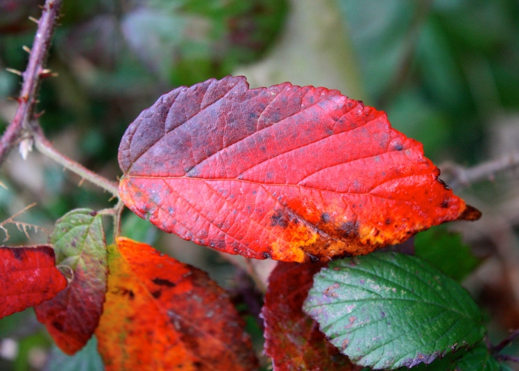 The undergrowth was ablaze with bramble leaves