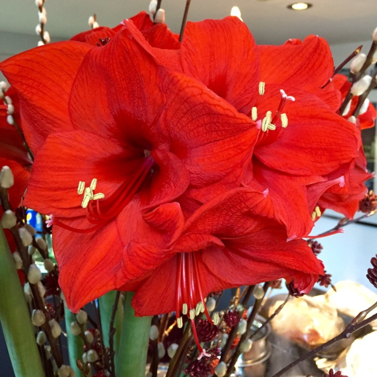 Loud and proud, the bold blooms of a scarlet Hippeastrum