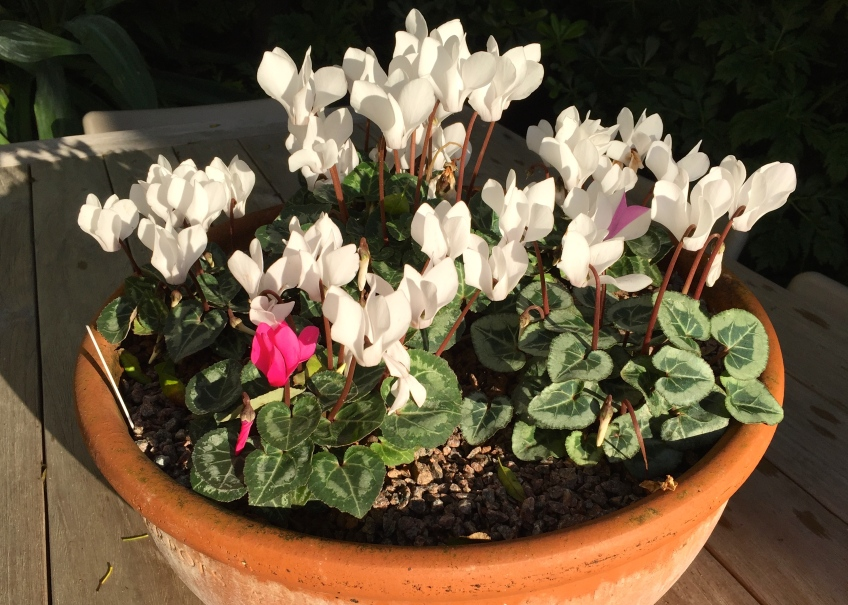 miniature cyclamen, The Watch House, December 2014