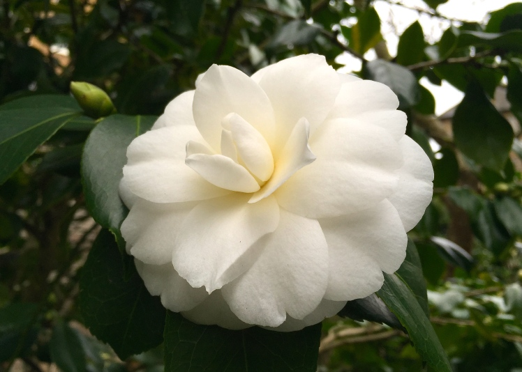 Purity itself, an early blooming white camellia