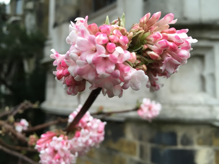 Viburnum x bodnantense manages to look fresh and vital even in the depths of winter