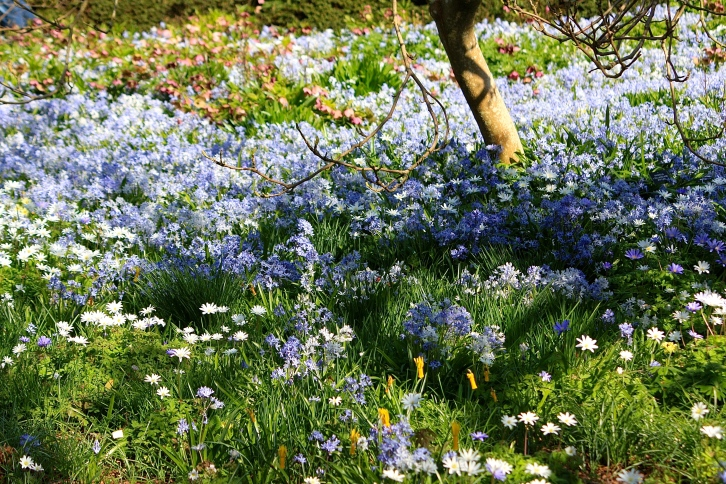 A swathe of anemones carpets the ground in an area of Sissinghurst known as Delos