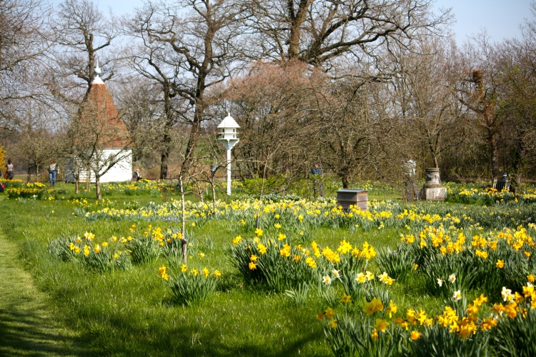 Sissinghurst's orchard studded with cheerful narcissi
