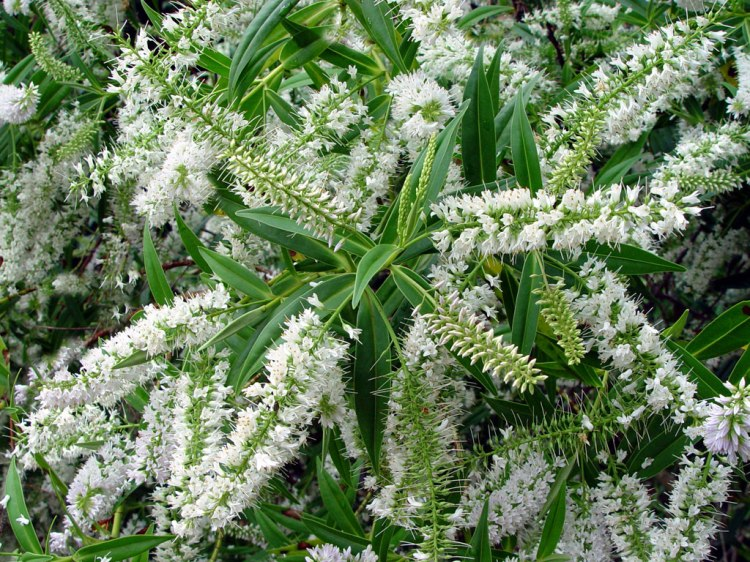 Evergreen but never dull, Hebe salicifolia has light green leaves and copious white flowers in early summer