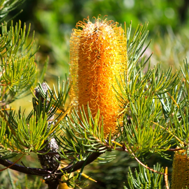 Banksias, like this B. spinulosa, are counted amongst the New Year partygoers