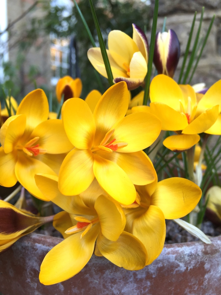 Warmed by the sun, these golden yellow crocuses are surrounded by a sweet, honeyed fragrance