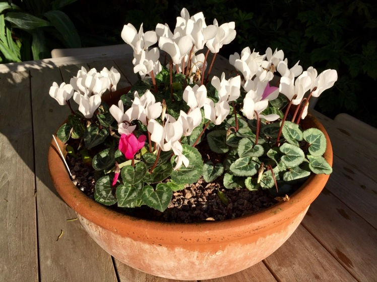 Miniature cyclamen will keep flowering until the weather gets really cold