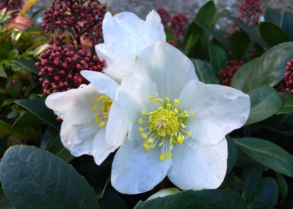 Pure and simple, Helleborus niger