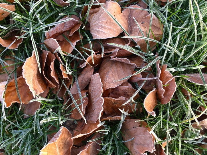 Beech leaves nestle in the sward, each leaf and blade fringed with frost