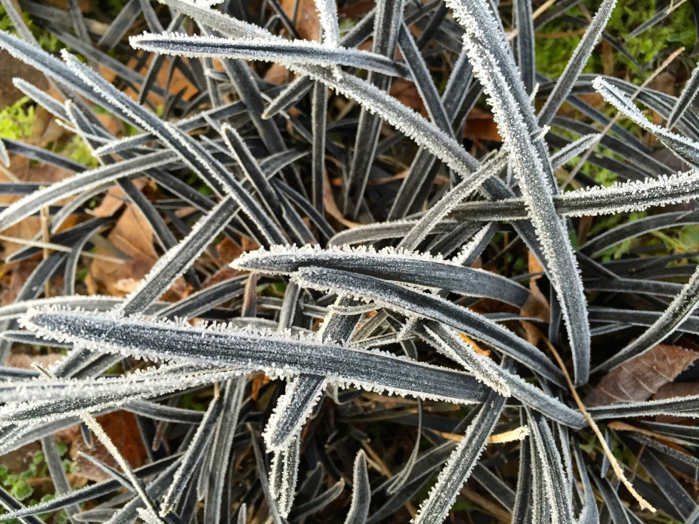 Ophiopogon nigrescens is  even more beautiful laced with ice crystals