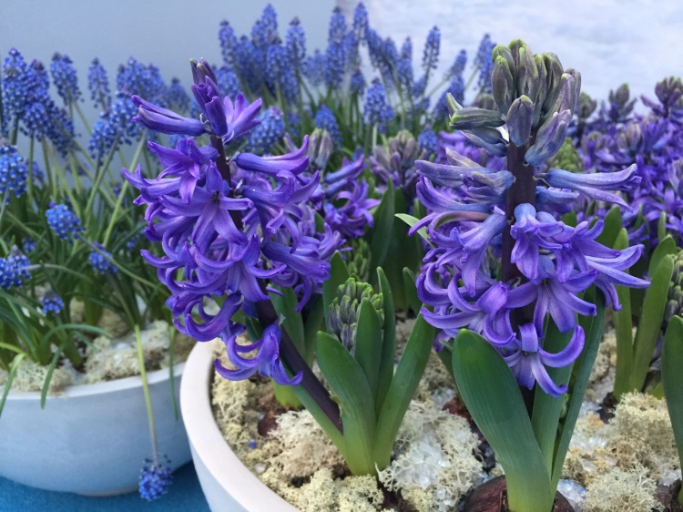Blue hyacinths and muscari, February 2015