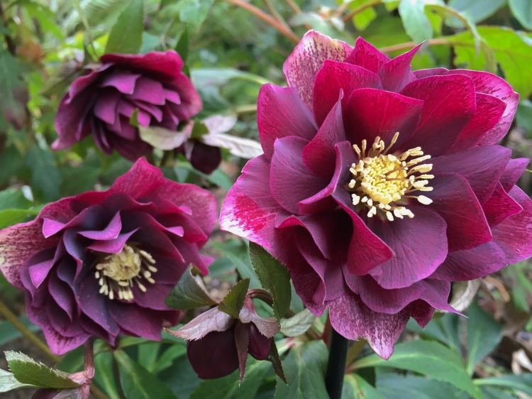 Wendy Perry carefully selects hellebores which hold their flowers proudly aloft