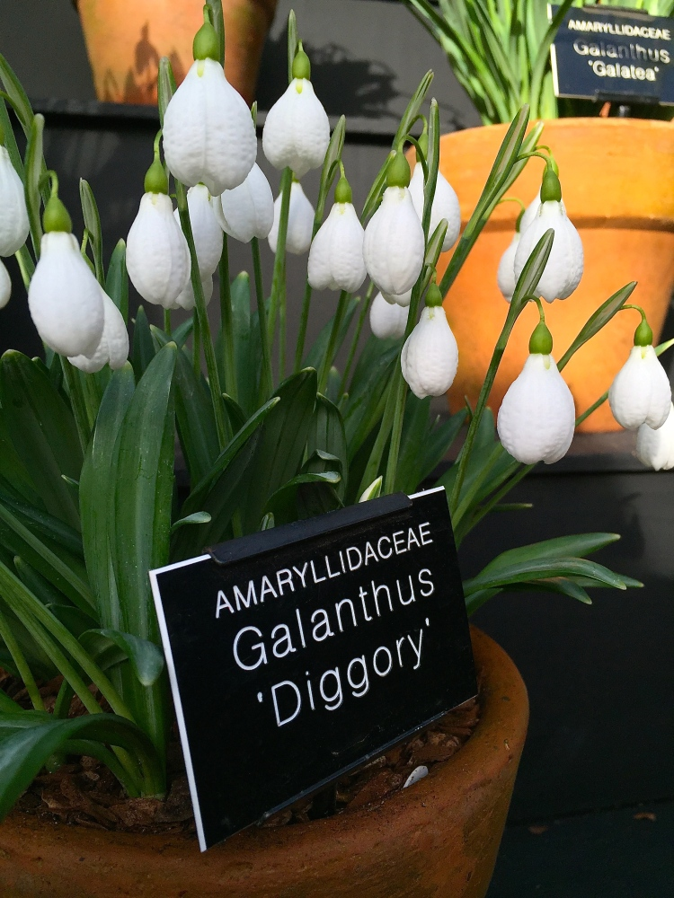 Galanthus 'Diggory' (snowdrop), Chelsea Physic Garden, February 2015