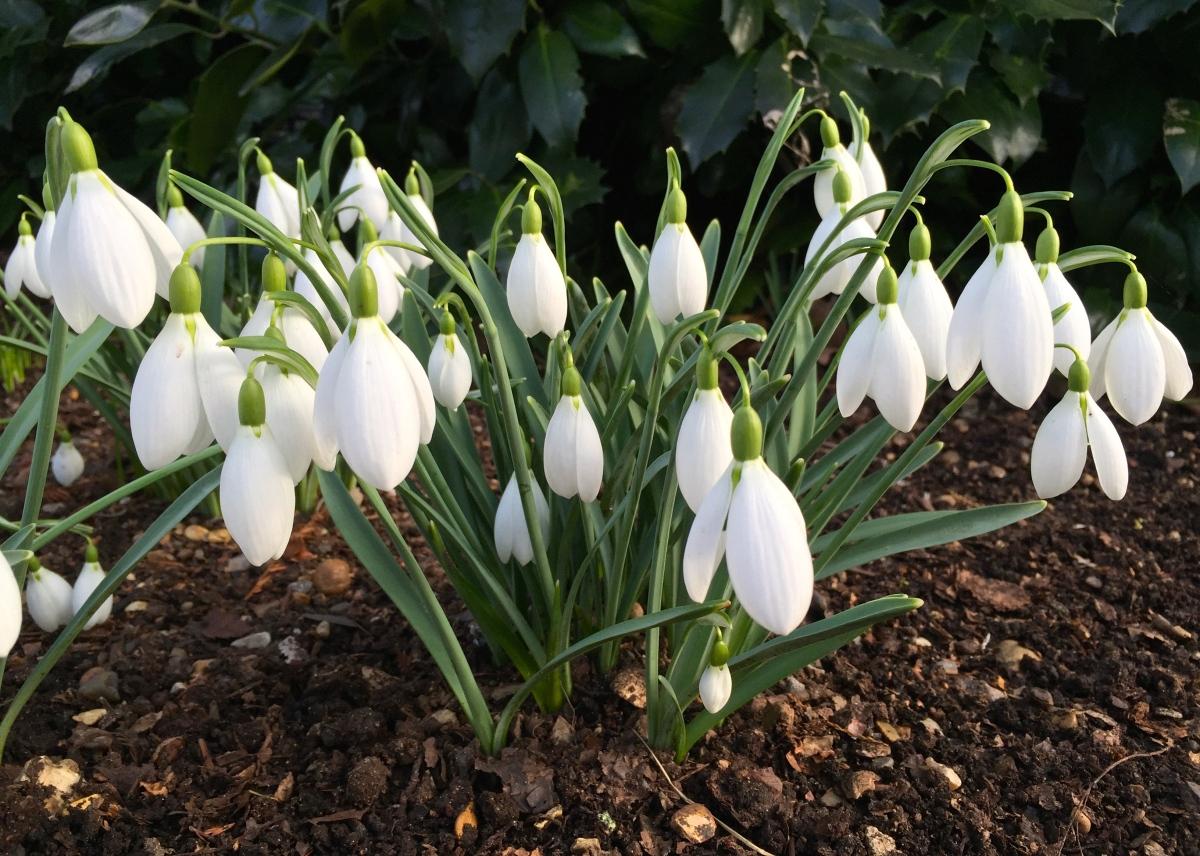 Snowdrop Week: Galanthus 'John Gray'