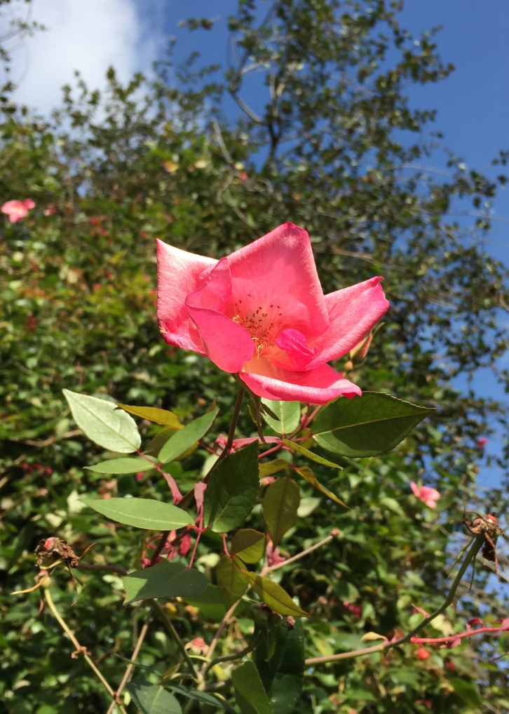 Rosa x odorata 'Bengal Crimson'
