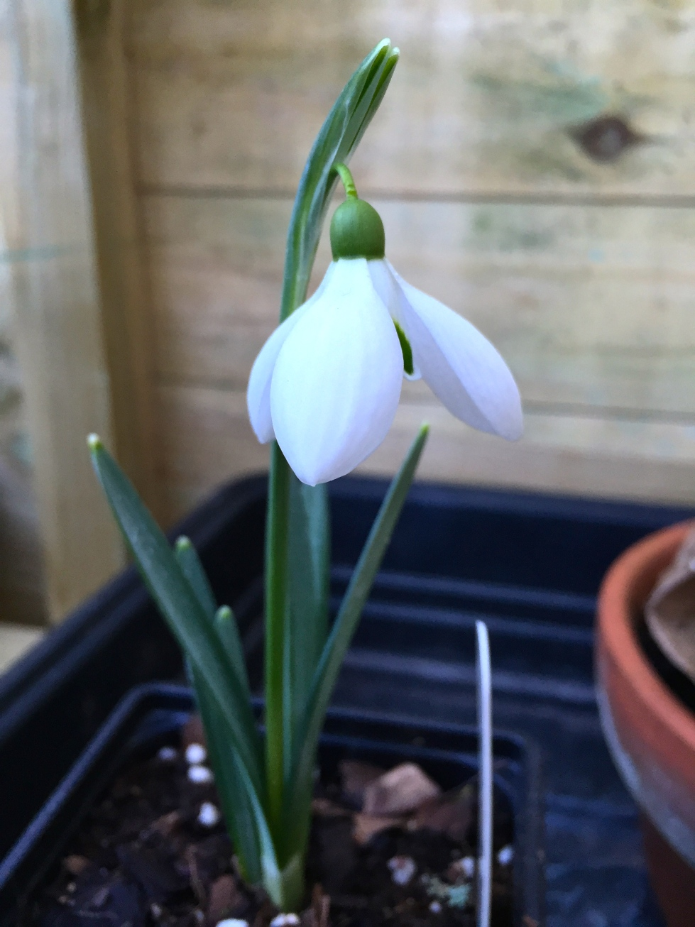 Galanthus 'Seagull', London, February 2015