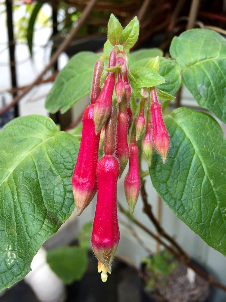 Fuchsia 'Space Shuttle', The Watch House, February 2015
