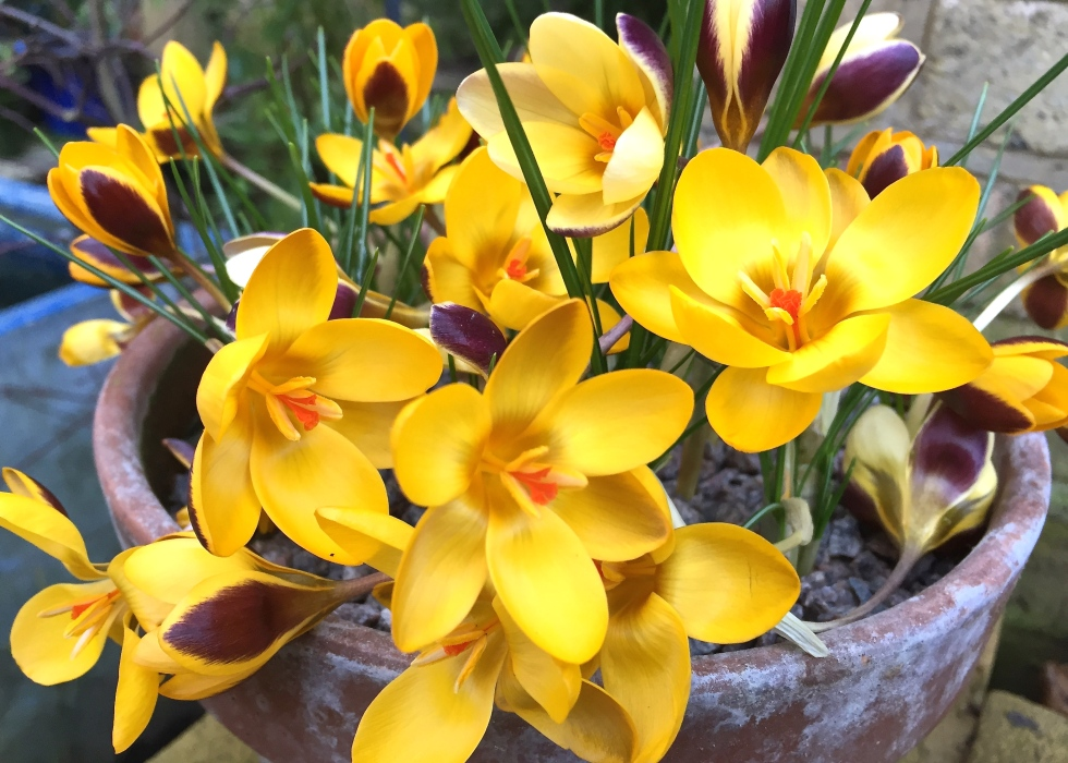 Crocus chrysanthus 'Herald' is a solid gold choice for February colour